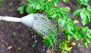 Фото фосфорной подкормки картофеля, rmnt.ru