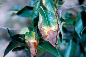 Фото нехватки фосфора у растений, good-tips.pro