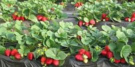 Посадка клубники на агроволокно как технология повышения урожая