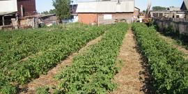 Посадка картофеля – традиционные и альтернативные способы