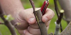 Прививка вишни на черемуху