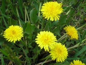 Фото сорняка одуванчика, vtrepalka.blogspot.com