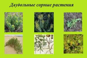 На фото - двудольные сорные растения, agrosoftex.com.ua