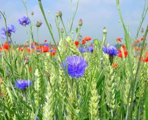 Фото соседства культурных растений с сорняками, zerno-ua.com