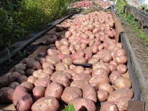 Фото большого урожая картошки, liveinternet.ru