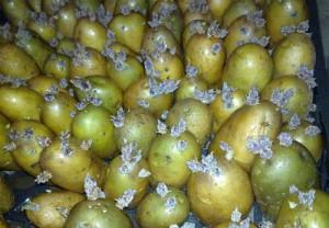 На фото - провяливание картофеля перед посадкой, forumdacha.ru