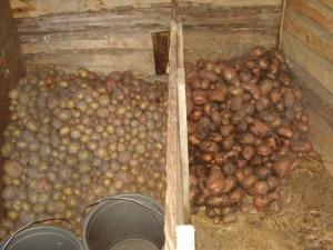 На фото - сортировка картофеля, vsevogorod.ru
