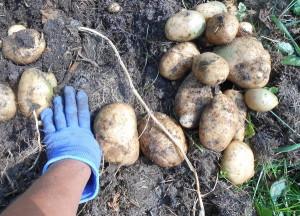 Фото слишком крупных картошин, pticevodov.com