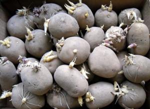 Фото подготовки клубней картофеля к посадке, 7dach.ru