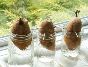 Фото проращивания картофеля на подоконнике, tutknow.ru