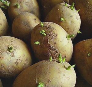 На фото - темно-зеленые ростки на пророщенном картофеле, sazhaemvsadu.ru