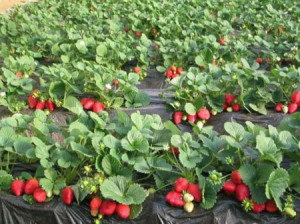 Фото посадки клубники на агроволокно, dim-sad-gorod.com
