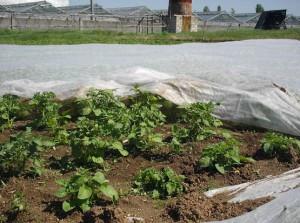 Фото выращивания картофеля под агроволокном, studyes.com.ua