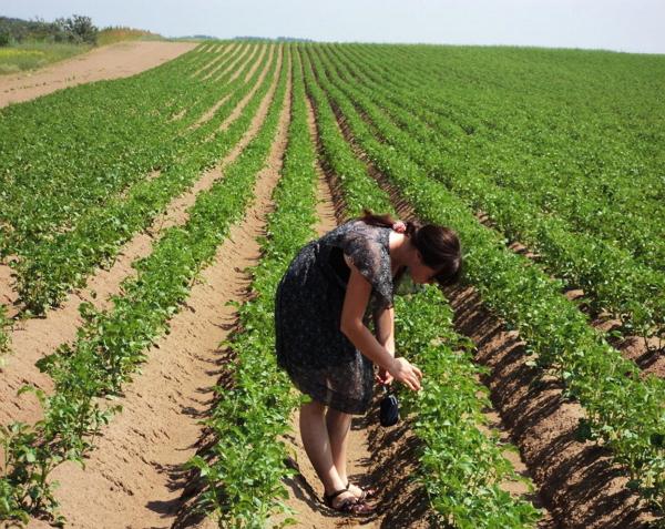 Выращивание картофеля в промышленных масштабах бизнес