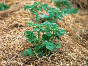 Фото картошки под соломой, moioazis.ru