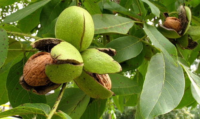 Фото созревших плодов грецкого ореха