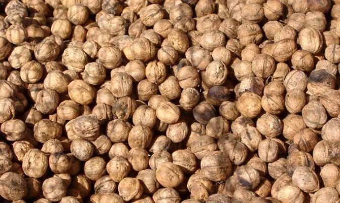 Фото высушивания грецких орехов