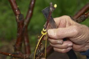 На фото - прививка к взрослому кусту свежей поросли, sadoved.com