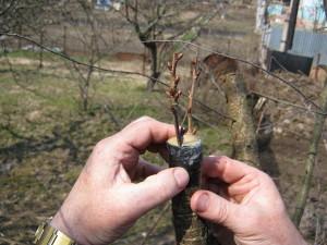 Фото прививки черешни на вишню, help-in-gardening.com