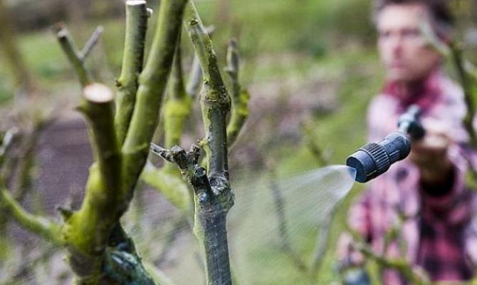 На фото - внекорневая подкормка садовых деревьев раствором мочевины