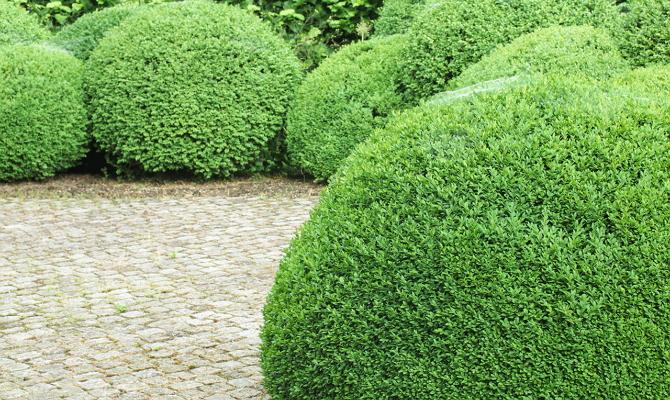 Какие бывают декоративные кустарники?