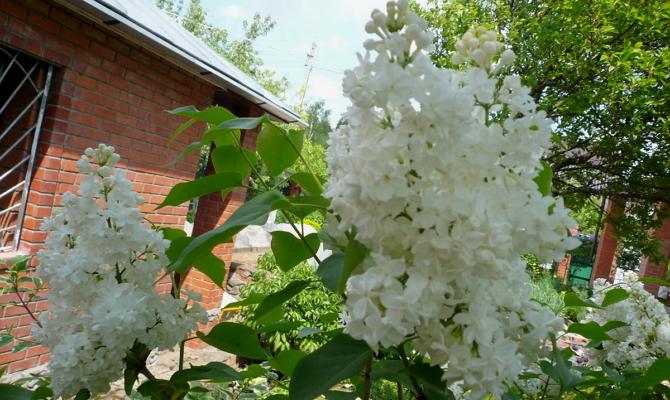 Сажаем кустарники, чтобы сад цвел круглый год