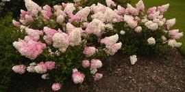 Названия декоративных цветущих кустарников