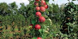 Колоновидные яблони – обрезка кроны в борьбе за урожай