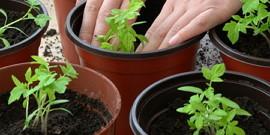 Как выращивать рассаду помидор дома