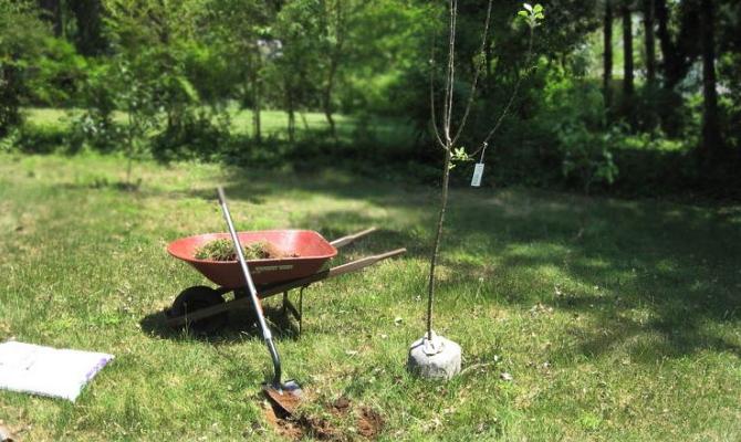 Фото посадки колоновидной яблони