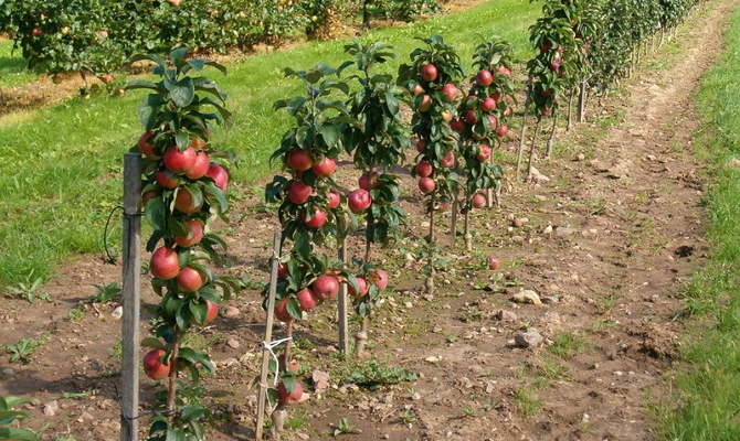 На фото - колоновидные яблони