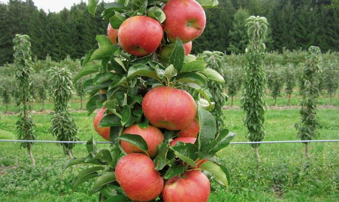 Фото гибрида колоновидной яблони