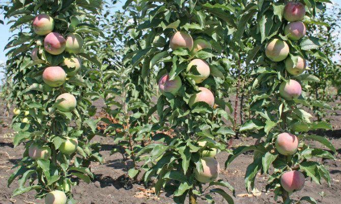 На фото - ряды саженцев колоновидных яблонь