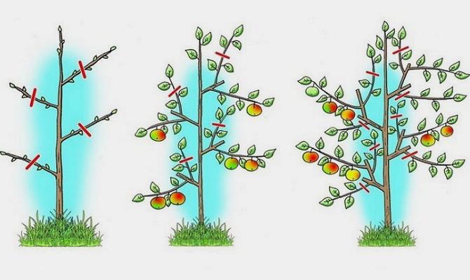 Фото формирования кроны колоновидной яблони