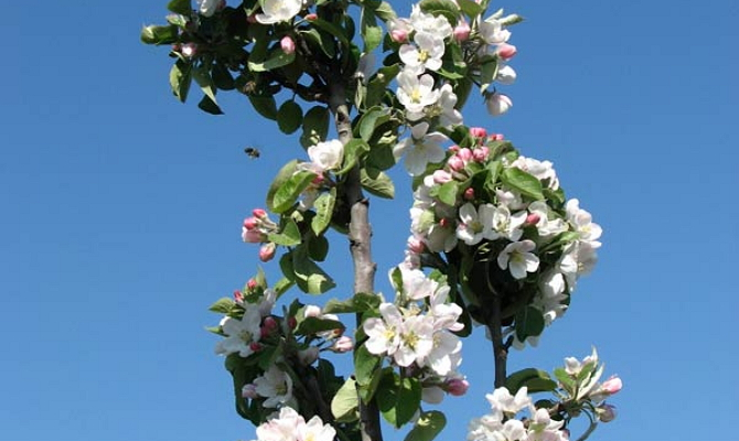 На фото - цветы колоновидной яблони