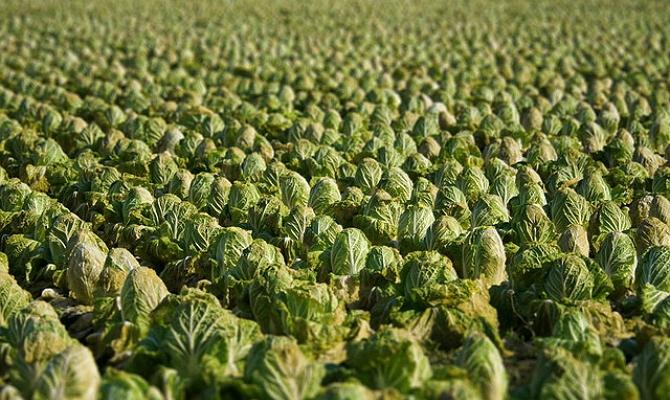 Хороший урожай пекинской капусты