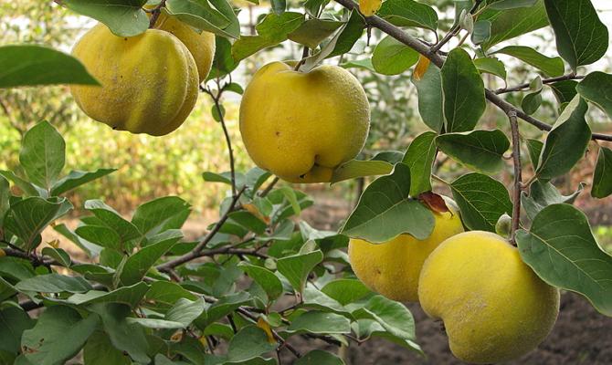 Спелый плод с айвового дерева