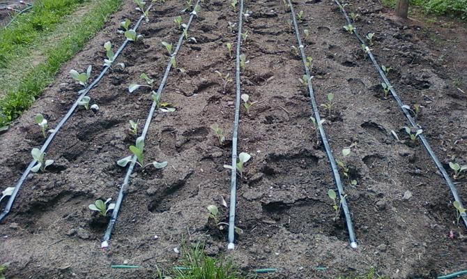 Дозированное орошение огорода микрокапельным методом