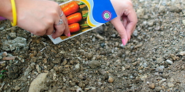 Посадка моркови осенью – для раннего урожая и консервации