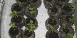 Торфяные таблетки для рассады петунии – инструкция к применению