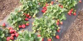 Подкормка клубники осенью после посадки