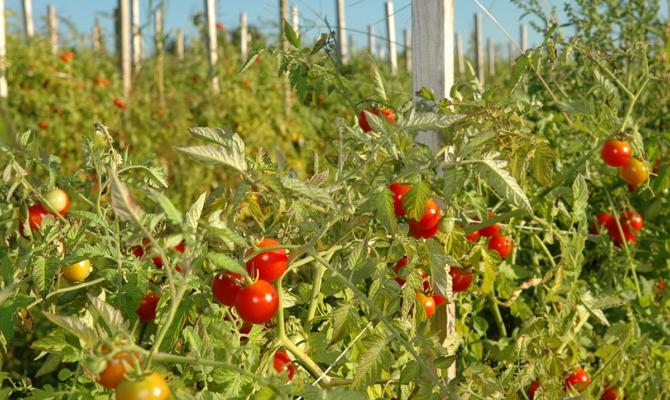 Ранний сорт помидор