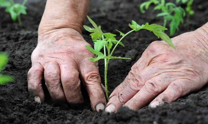 Высаживание рассады помидор в грунт