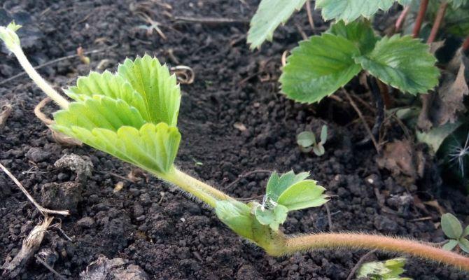 Как посадить клубнику осенью видео