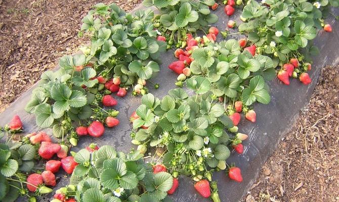 Крупный и сочный урожай ягод