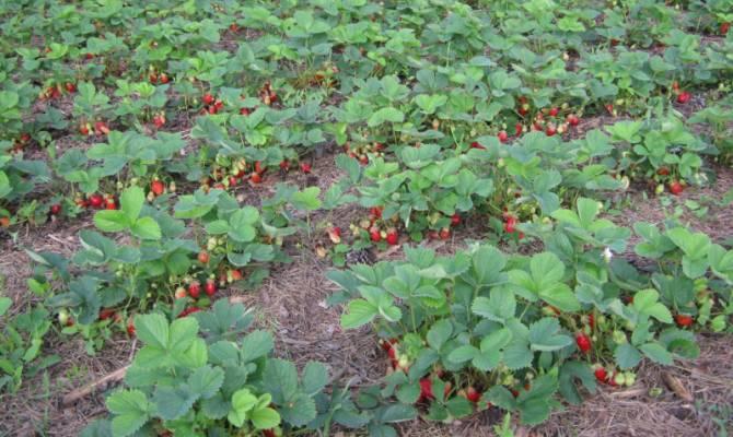 Урожай сладкой и полезной ягоды