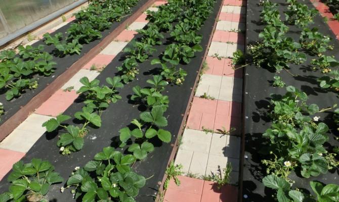 Как лучше посадить клубнику осенью