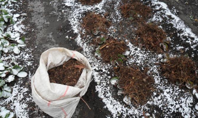 Укрытие кустиков хвойными ветками на зиму