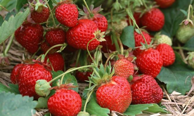 Хороший урожай сладкой ягоды
