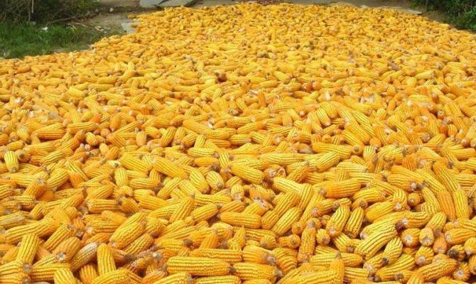 Хранение кукурузы в початках